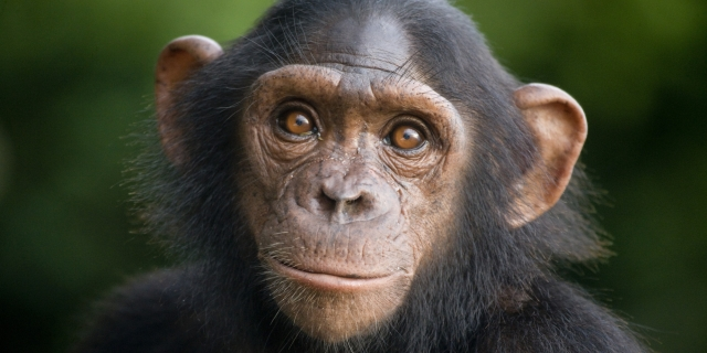 Empathy No Longer Divides Humans And Chimps. What Now?