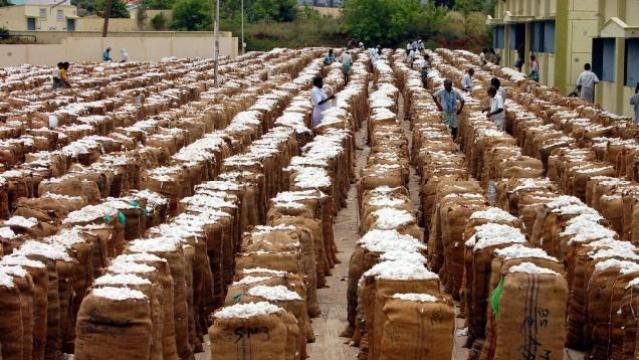 Farmers Report Higher Profits From Desi Varieties  Than Bt Cotton