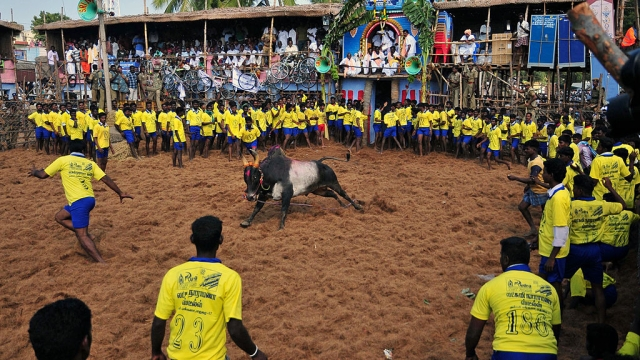 Is Jallikattu A Cultural Right?  SC Frames Five Questions, Refers Petitions To Constitution Bench