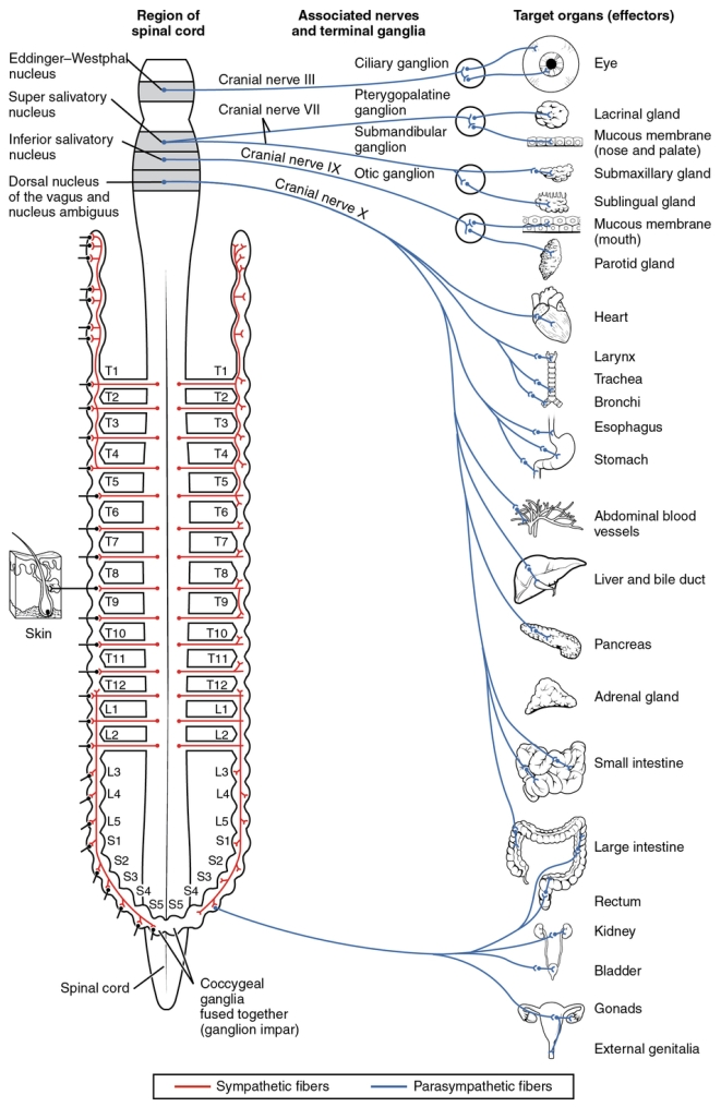 """The vagus nerve's connections to the body's parasympathetic nervous system. (Photo Credit: <a href=""""http://cnx.org/contents/FPtK1zmh@6.27:kQtsmOFO@2/Divisions-of-the-Autonomic-Ner"""">OpenStax College</a>)"""