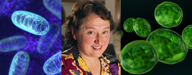 Microbiologist Lynn Margulis proposed endosymbiosis as the process by which the eukaryotic cells acquired mitochondria(left) and chloroplasts (right). Dawkins considered the acceptance of endosymbiosis in mainstream evolution a great achievement.