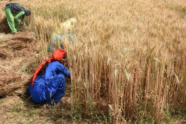 Government Hikes Minimum Support Price For Wheat By Rs 110 Per Quintal, Pulses By Rs 200 Per Quintal