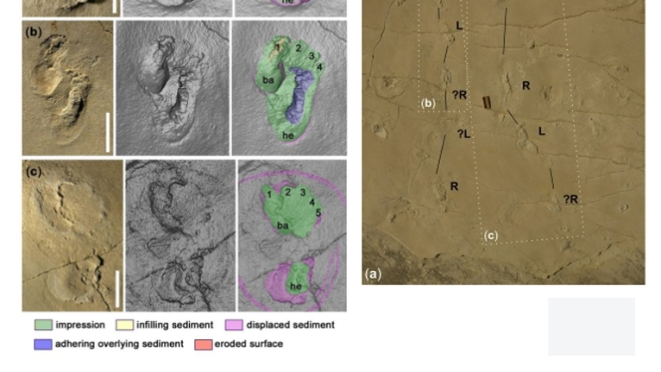 Left: Three most well preserved foot prints  Right: The tract with left and right footprints marked. Image courtesy:  Gierliński et al., Proceedings of the Geologists' Association