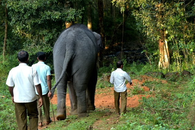 Yashaswini heads for her daily walk with her three mahouts (Ram Kumar)